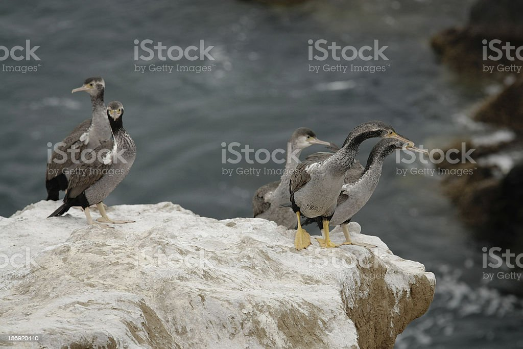 Shags (cormorants) on the cliff in New Zealand royalty-free stock photo