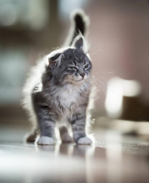 schüttelnde kätzchen in der sonne - grau getigerte katzen stock-fotos und bilder
