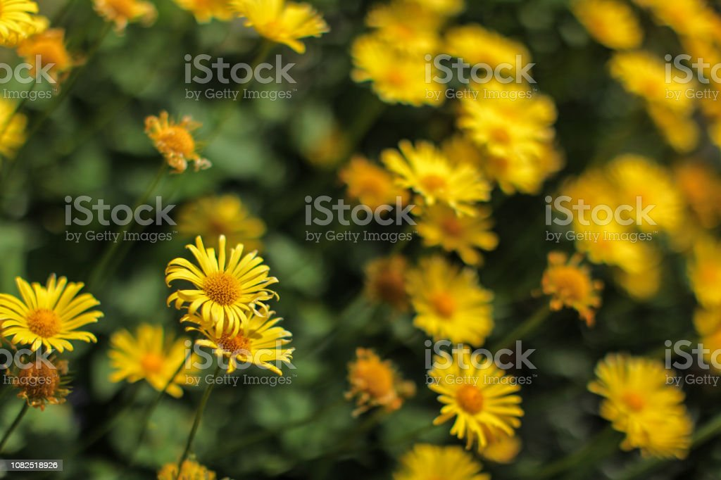 Shallow depth of field photo, only single blossom in focus, small yellow flowers - abstract spring flowery background. stock photo