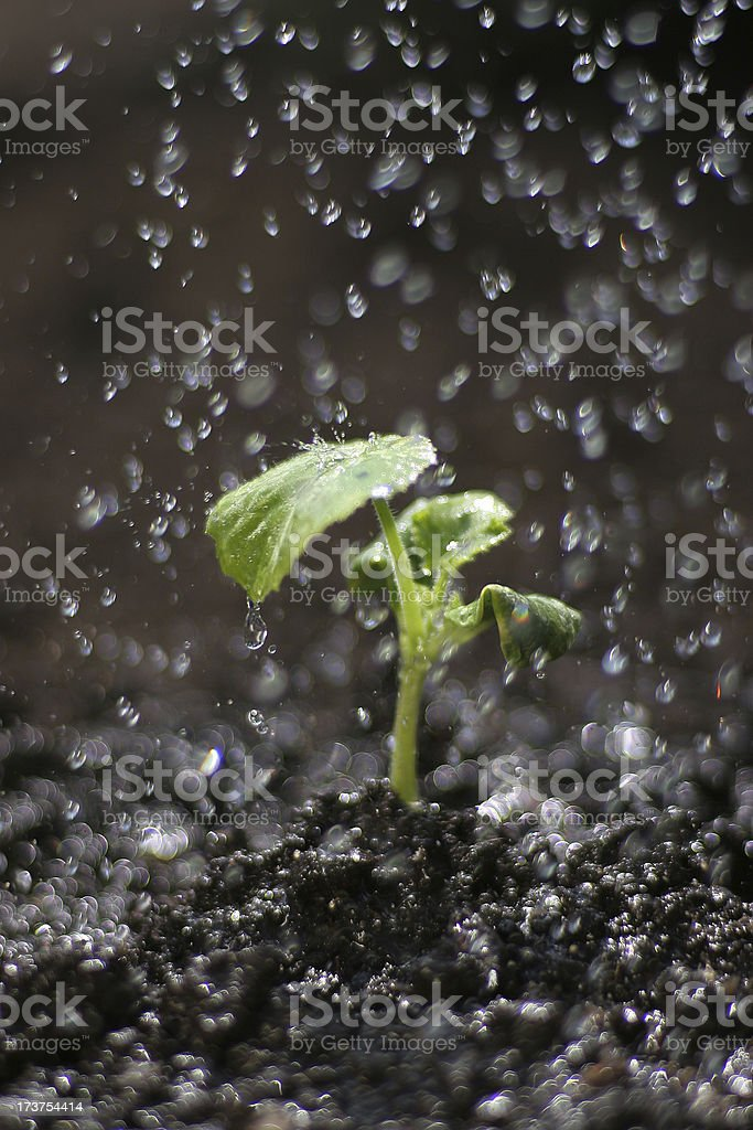 Shallow Depth of Field Watering Sprout royalty-free stock photo