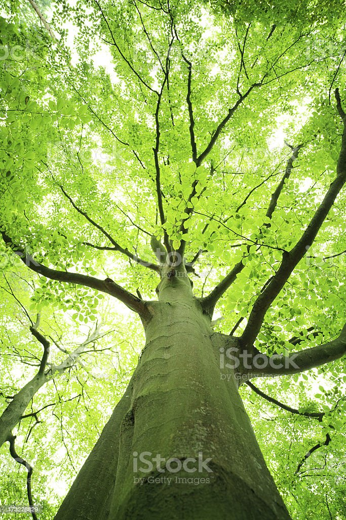 Shallow DOF - Green Tree Looking up royalty-free stock photo