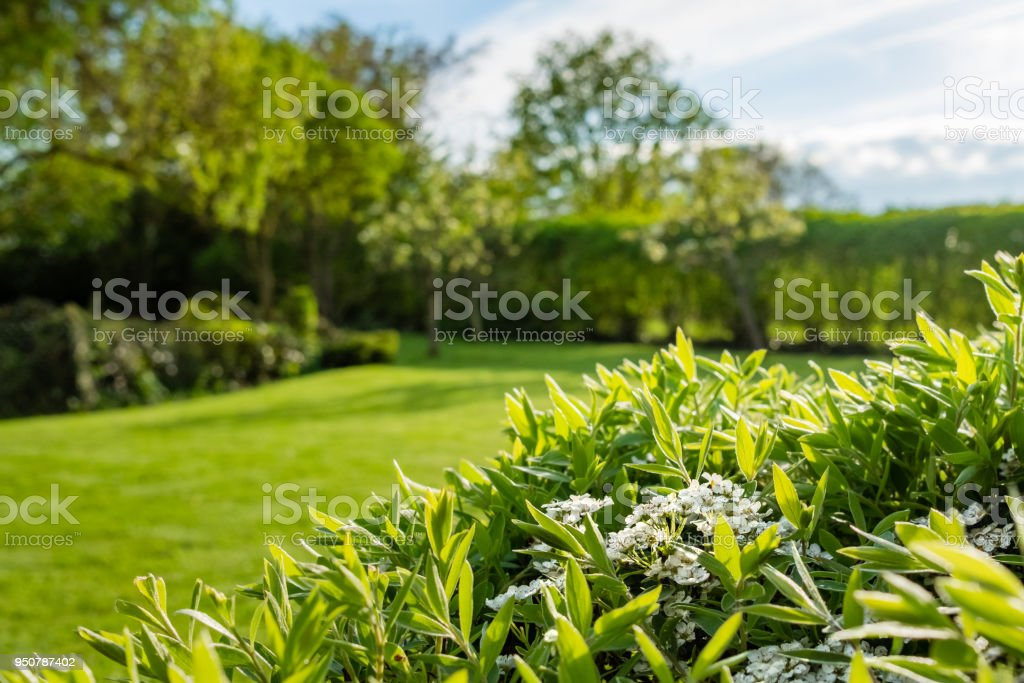 Shallow focus image of newly emerging white flowers seen on a large bush located in a large, well maintained summer garden. stock photo