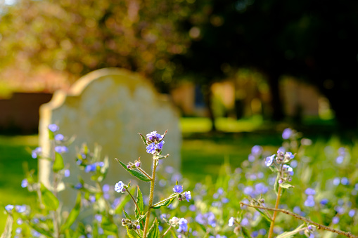 Shallow focus of beautiful blue flowers seen growing in late spring in a church yard.