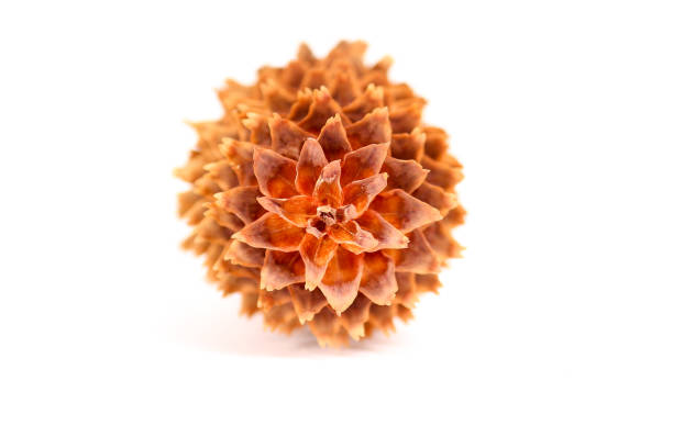 Shallow focus on a pine cone tip stock photo