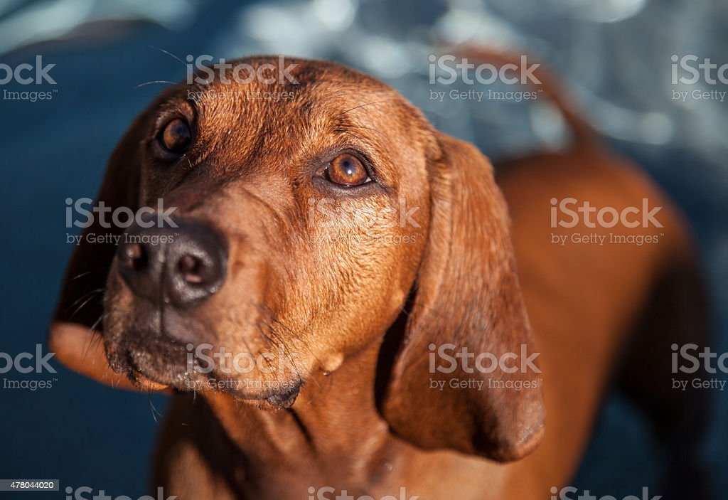 Shallow Focus on Redbone Coohound dog. stock photo