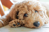 istock Shallow focus on the eyes of a beautiful pedigree miniature poodle puppy. 1263555820