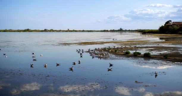Shallow water on Maliy Sasik Lake. Small cluster of seagulls on Maliy Sasik Lake stock photo