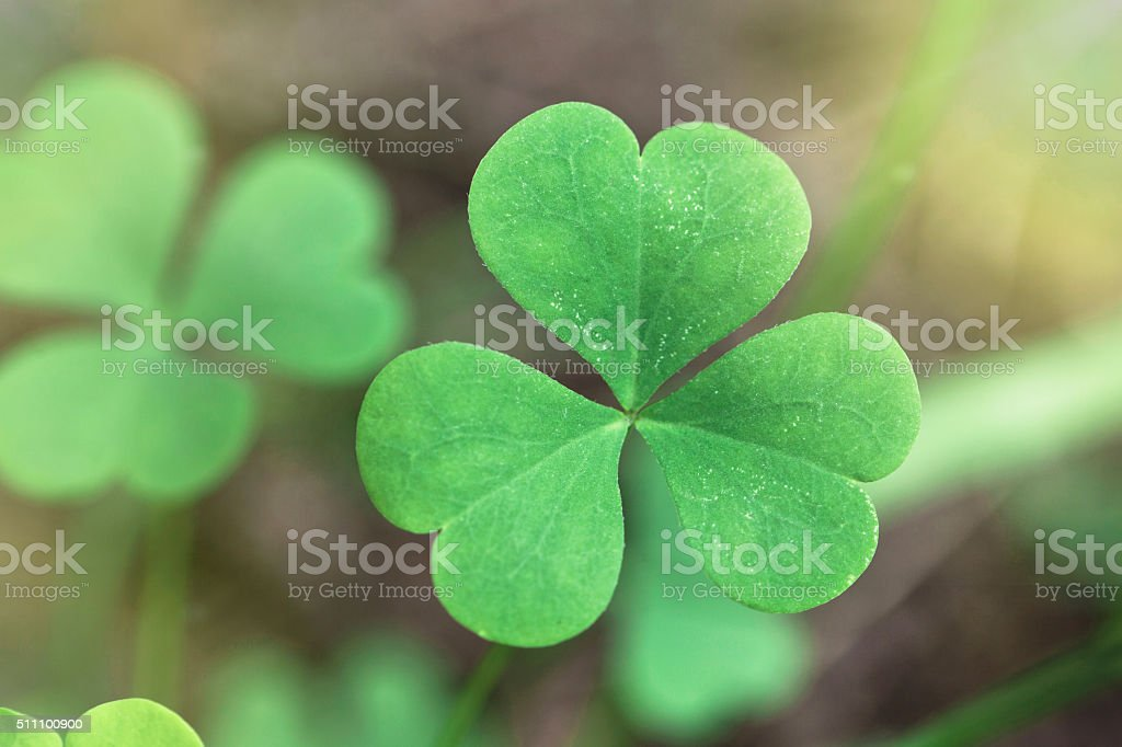 Shamrock close up stock photo