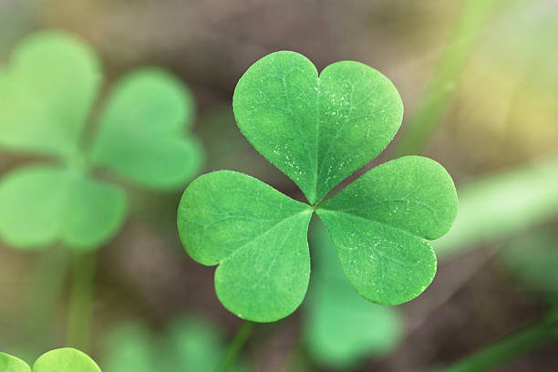 shamrock close up - klavertje vier stockfoto's en -beelden