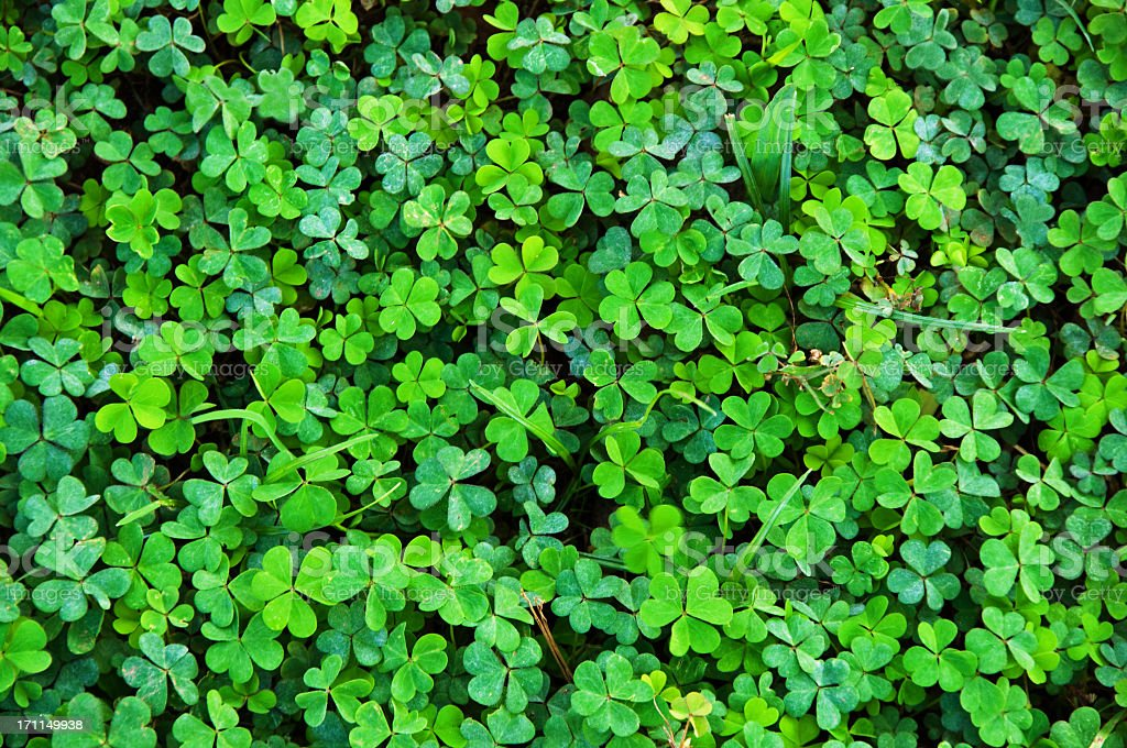 Shamrock Clover Natural  Background stock photo