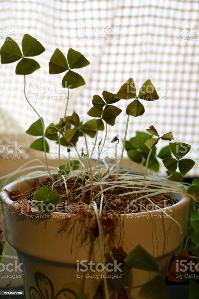Shamrocks in pot stock photo