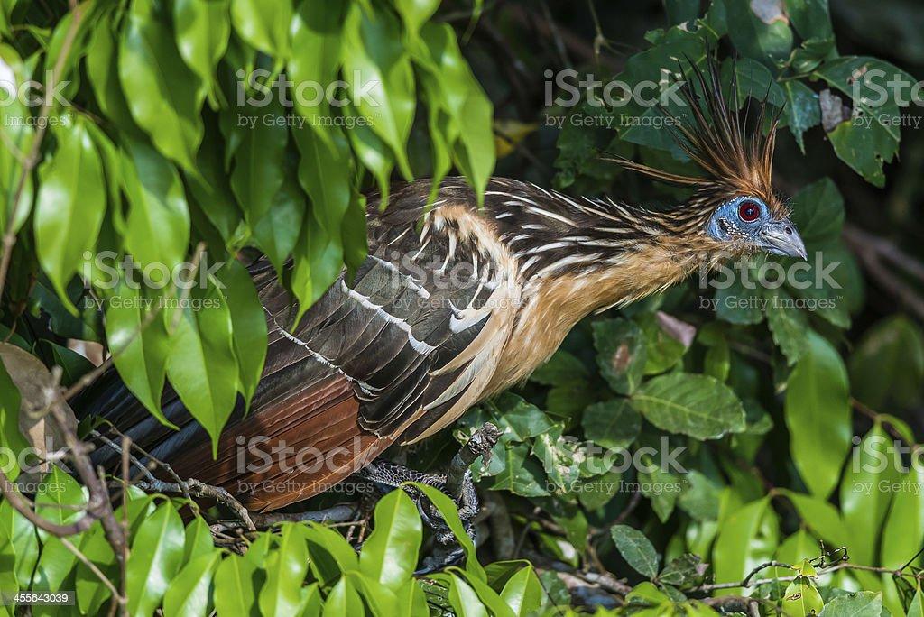 Shansho between branches peruvian Amazon jungle Madre de Dios Peru stock photo