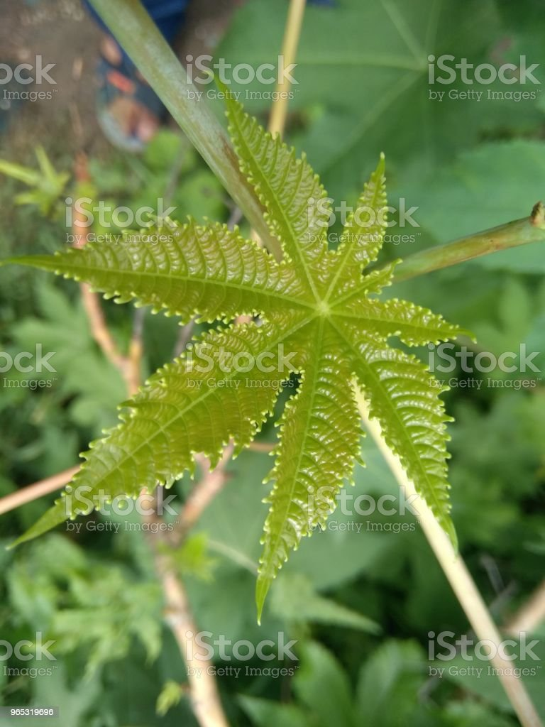 shape of leaves royalty-free stock photo