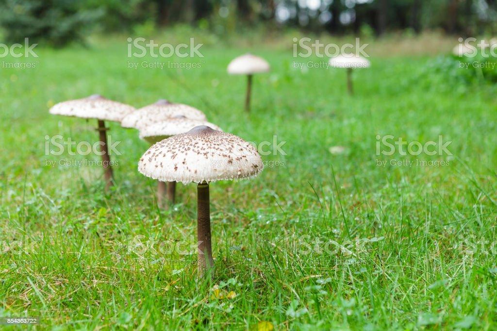 Shapely parasol mushroom on green grass stock photo
