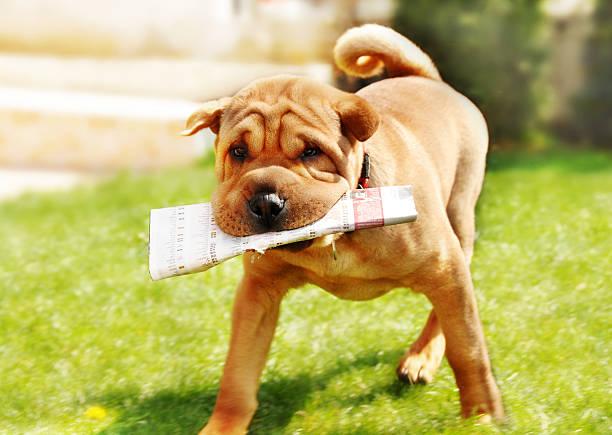 shar pei hund mit zeitung - hunde träger stock-fotos und bilder