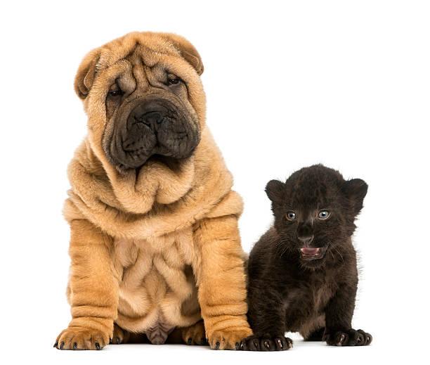 Shar pei puppy and black leopard cub sitting picture id450020093?b=1&k=6&m=450020093&s=612x612&w=0&h=czhzd8h armuvff 5iltzvj19jyssvih4 nyljyqwgc=