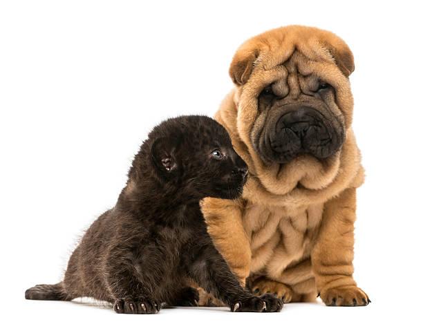 Shar pei puppy and black leopard cub sitting picture id450020123?b=1&k=6&m=450020123&s=612x612&w=0&h=avtdammuemao rhotj3jc4qqdiansg5dzfpx5a1 lci=