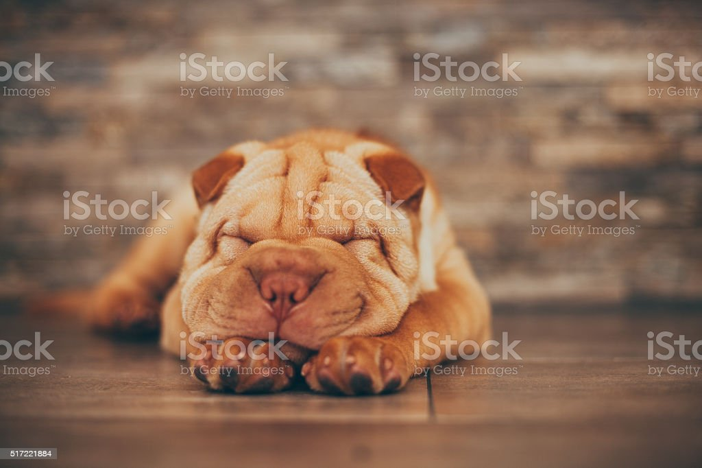 Shar Pei puppy sleeping on the floor stock photo
