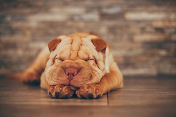 Shar Pei puppy sleeping on the floor stock photo