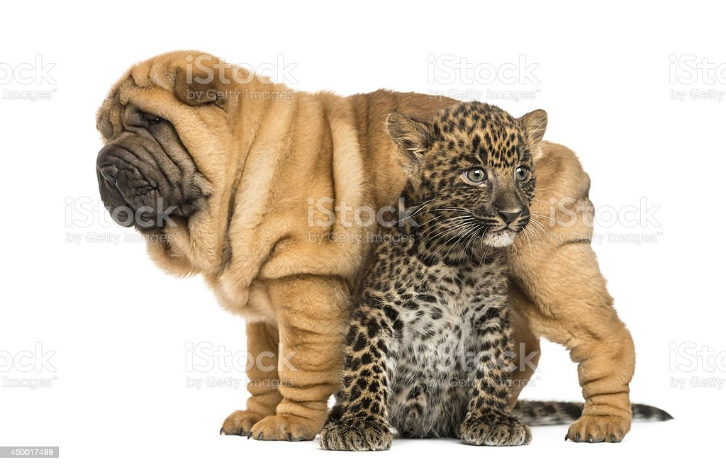 Shar pei puppy standing over a spotted Leopard cub, isolated royalty-free stock photo