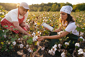 Quality control of the cotton plant crop. Confident women specialists analyzing the quality of the plants. Learning from the elder or from the younger ones...