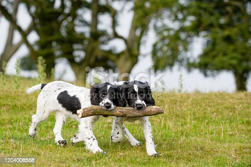 Two Springer Spaniels puppies carrying a big stick