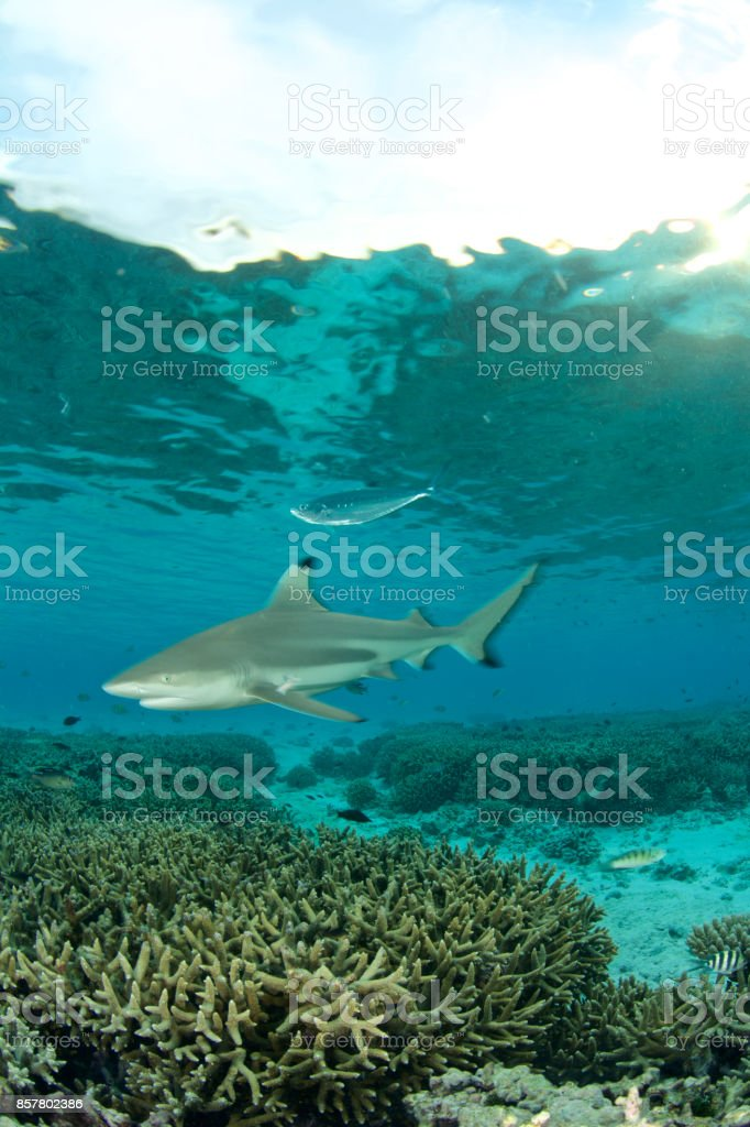 shark and corals stock photo