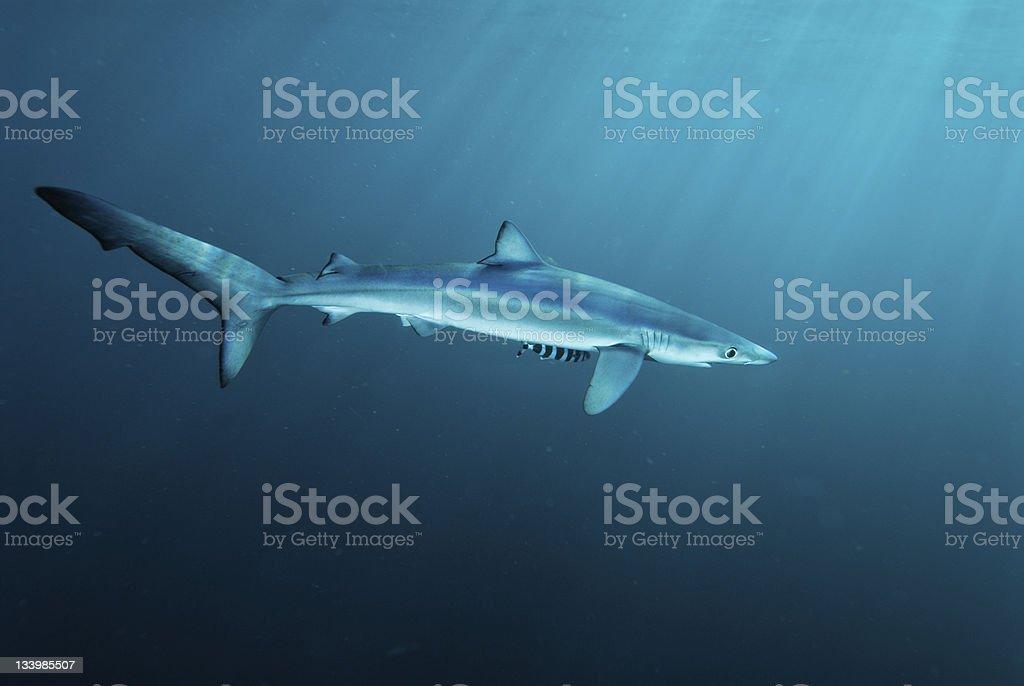 Shark and friend stock photo