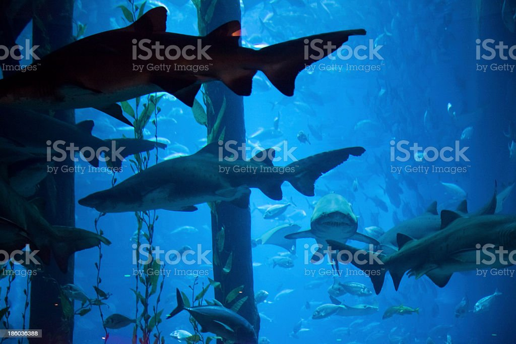 Shark and other fish swimming in an aquarium in Dubai royalty-free stock photo