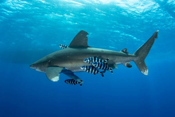 Shark and Pilot Fish A Oceanic Whitetip Shark in Red Sea symbiotic relationship stock pictures, royalty-free photos & images