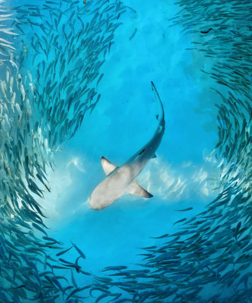 Shark and small fishes in ocean stock photo