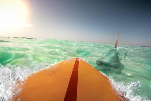 shark biting surfer stock photo