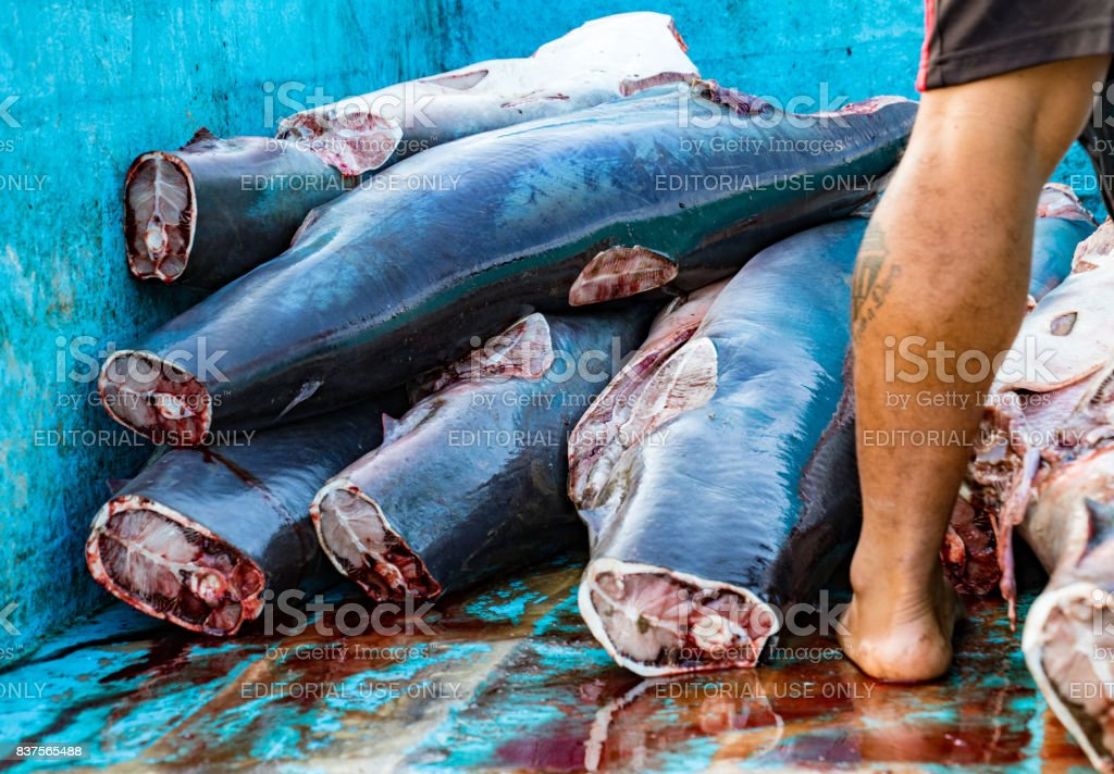 Shark bodies piled in truck, prepared to take to processing plant stock photo