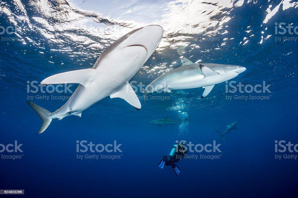 Shark divers stock photo