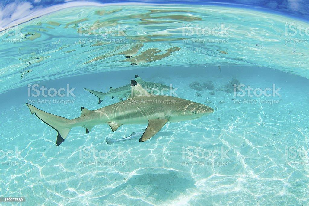 Shark diving royalty-free stock photo