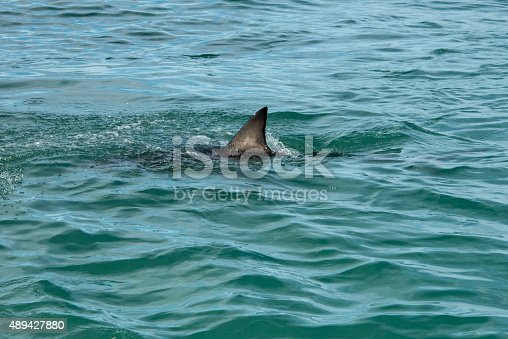 A  great white shark's fin showing above the water