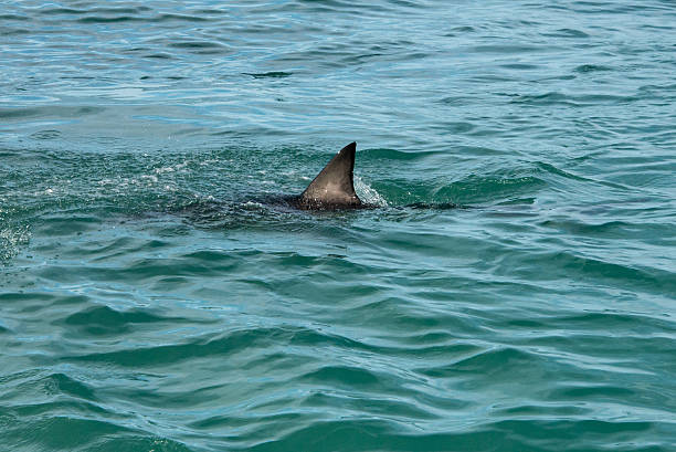 Shark fin A  great white shark's fin showing above the water dorsal fin stock pictures, royalty-free photos & images