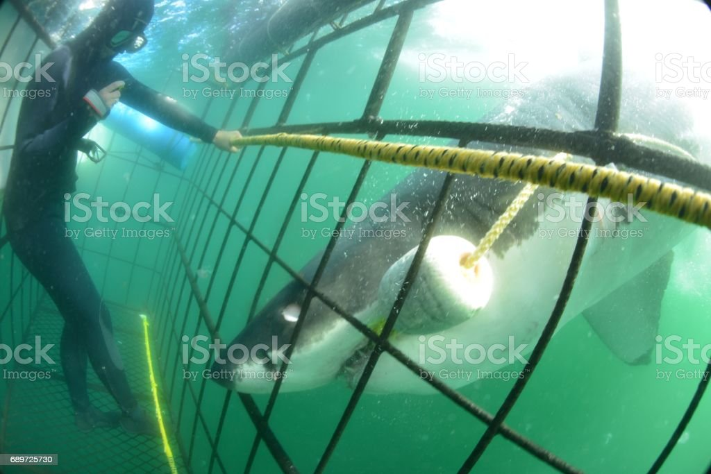 Shark enters Cage! stock photo