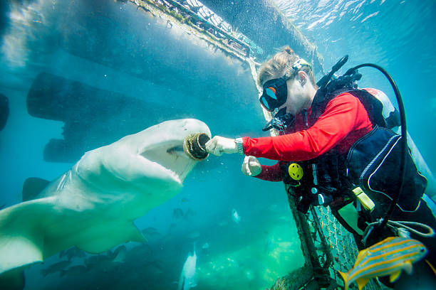 Shark Feeding An amazing image as a diver feeds a fish to a Nurse Shark. Found in tropical watersit is frequently found at depths of one meter or less. feeding frenzy stock pictures, royalty-free photos & images