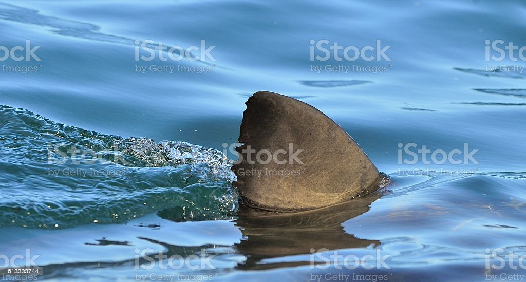 Shark fin above the water. stock photo