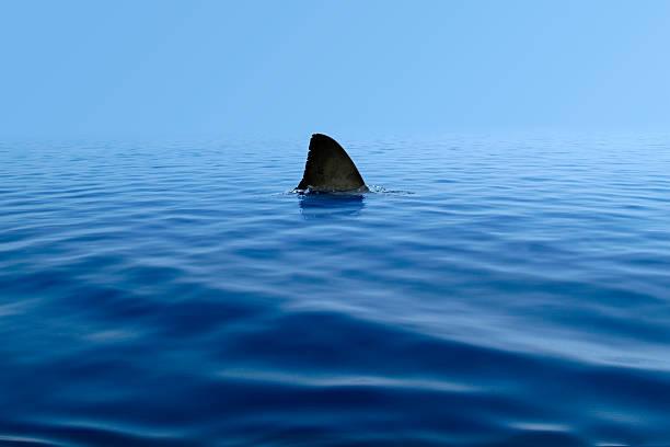 pinne di squalo sopra di acqua - squalo foto e immagini stock