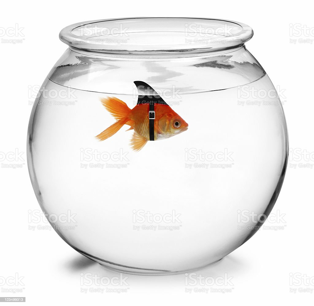 Shark Fin on a GoldFish stock photo