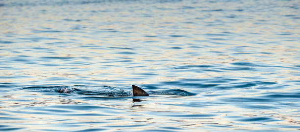 Shark fin on the surface of the ocean. stock photo