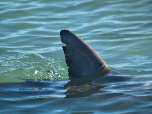 Shark Fin Sharks Dorsal fin breaking the surface of the water dorsal fin stock pictures, royalty-free photos & images
