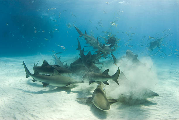 Shark Frenzy A frenzy of sharks stir up the white bottom as they battle for their share of food. feeding frenzy stock pictures, royalty-free photos & images