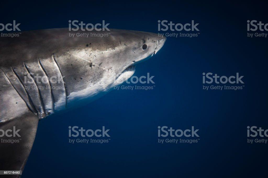 Shark gills stock photo
