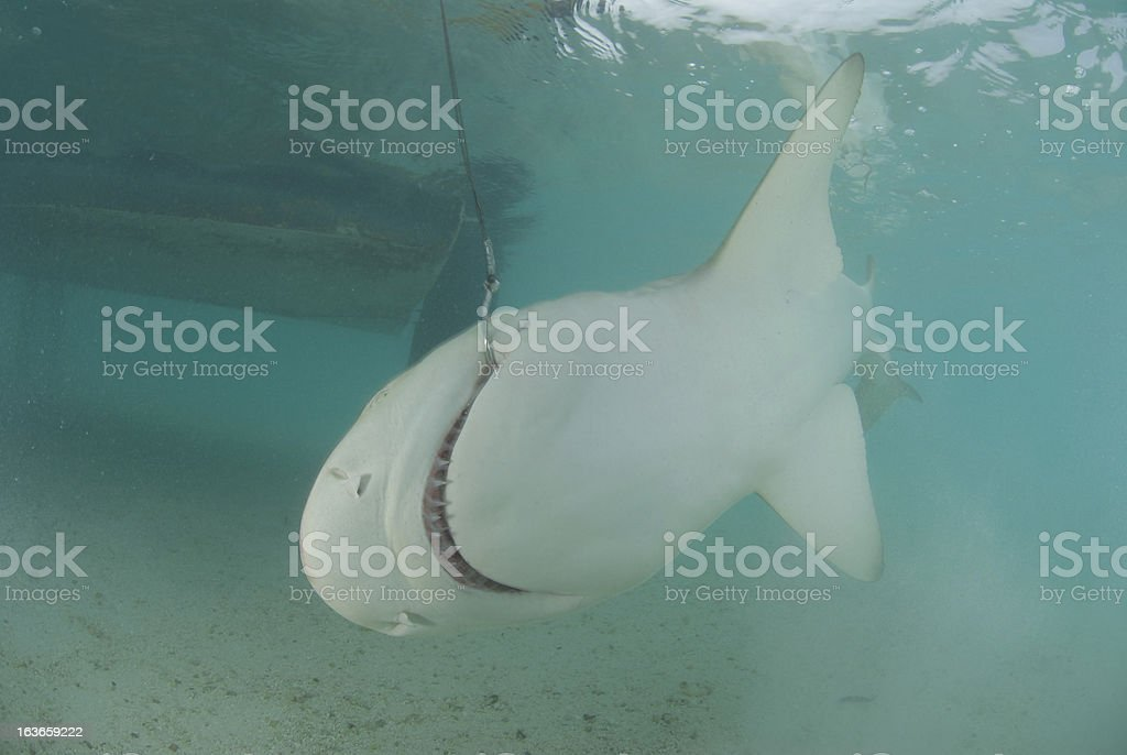 Shark Hooked Next To Boat Stock Photo & More Pictures of