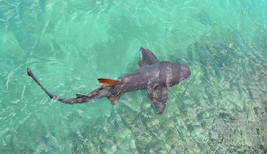Shark in the ocean. Jamaica