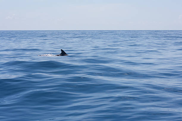Shark in the water Is it a shark or a dolphin dorsal fin stock pictures, royalty-free photos & images