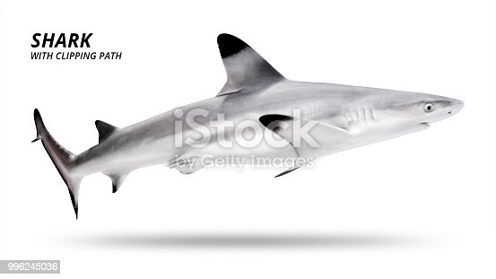 Shark isolated on white background. Blacktip fish. ( Clipping path )